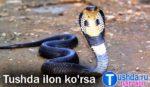 Tushda Ilon ko'rsa nima bo'ladi / tushlar tabiri/