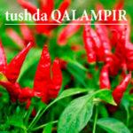 tushda QALAMPIR