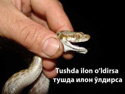 Tushda ilon o'ldirsa - тушда илон ўлдирса