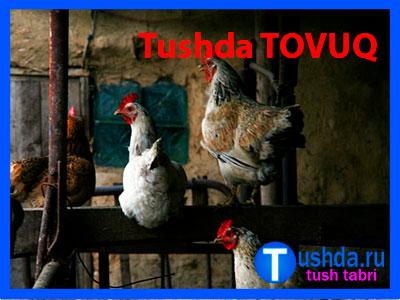 Tushda TOVUQ