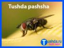 Tushda pashsha ko'rsa